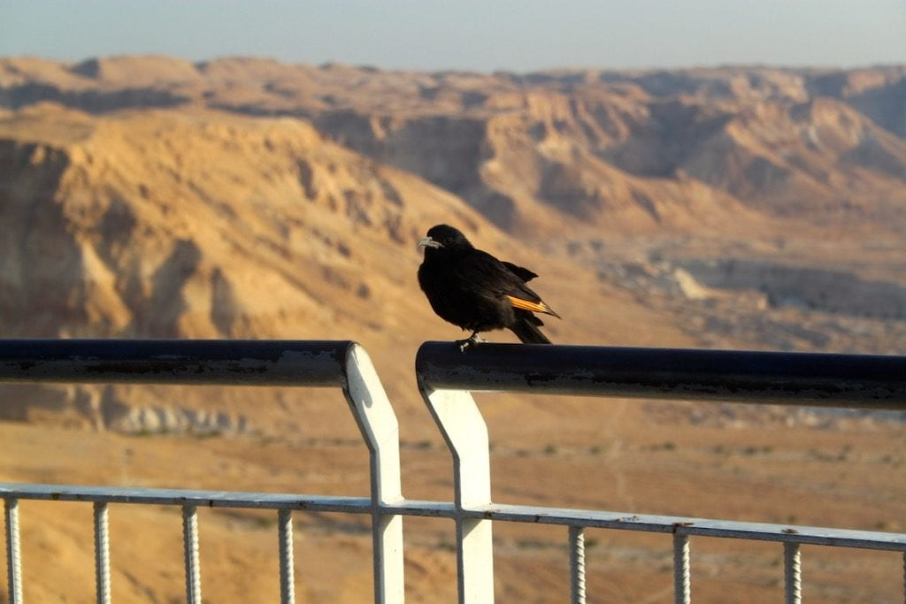 Un uccello su una ringhiera di Masada