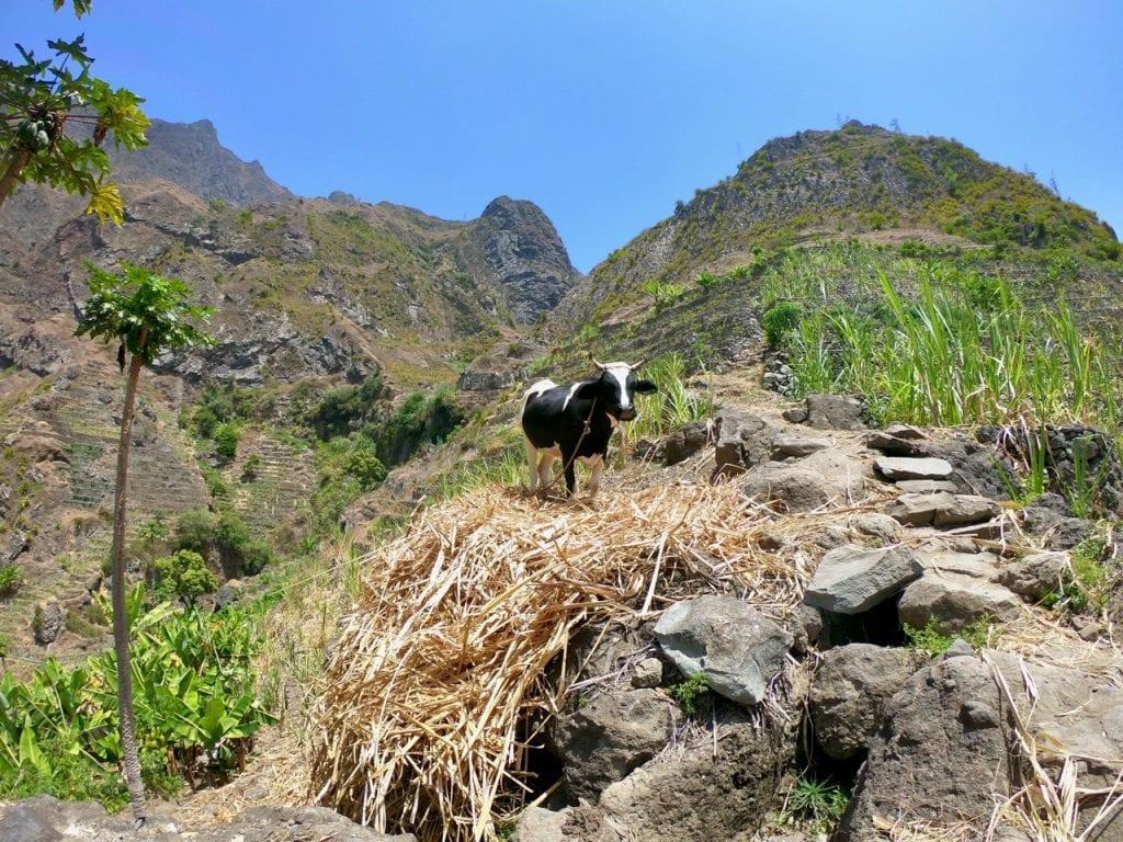 Una mucca sul sentiero per Pico Antonio
