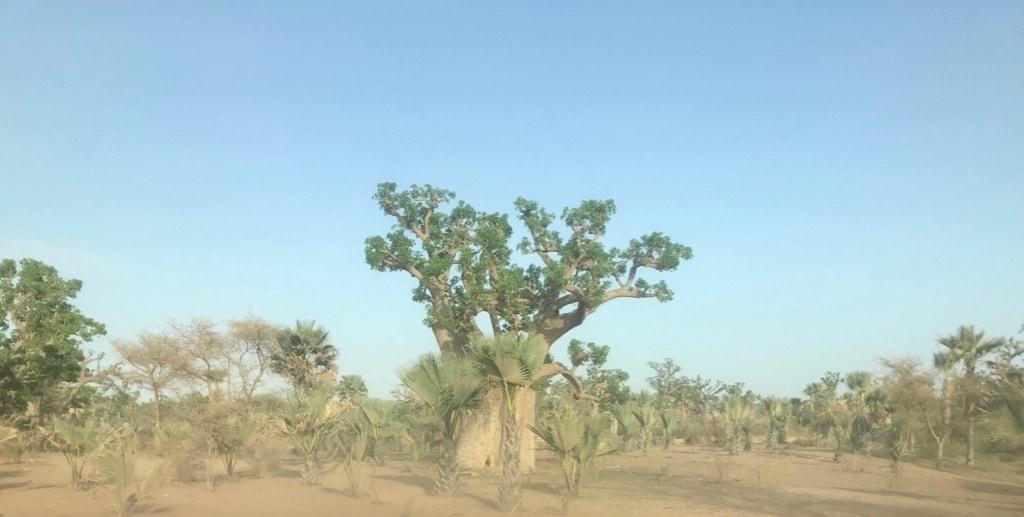 Un baobab sulla strada tra Dakar e Saint-Louis