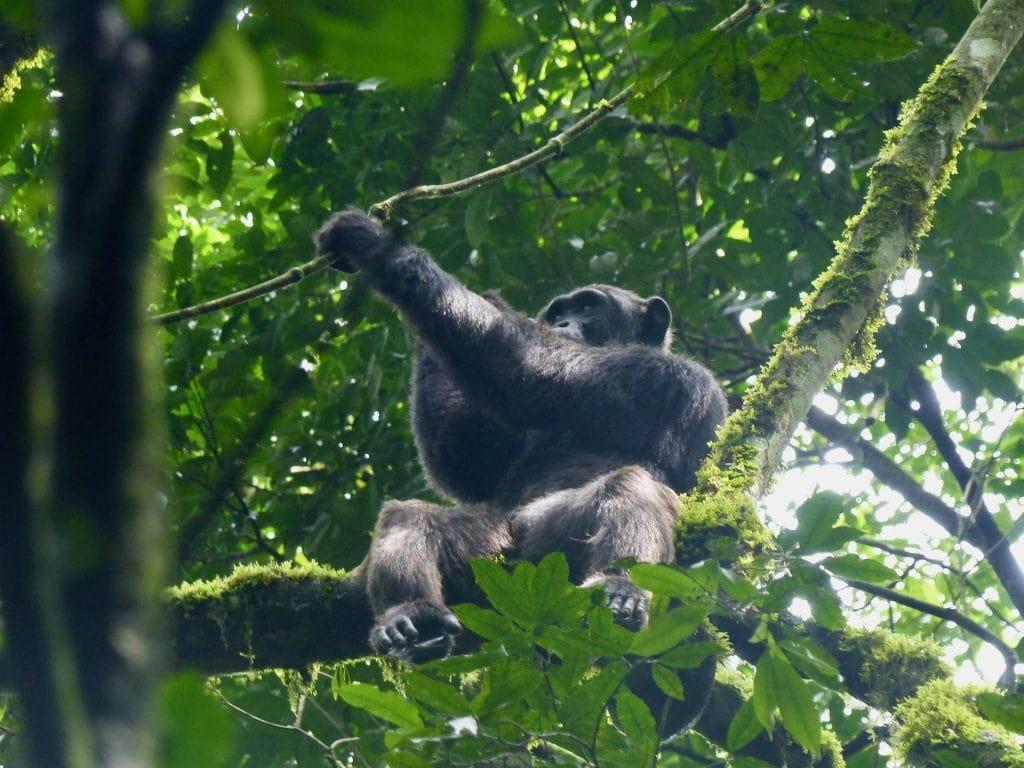 viaggio uganda scimpanzé kibale