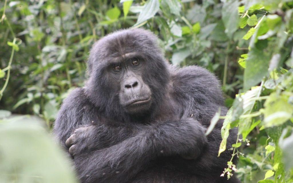 uganda gorilla di montagna