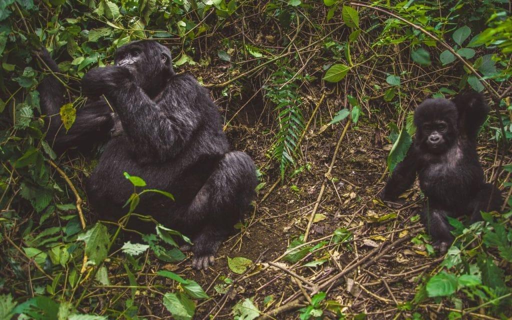 viaggi organizzati gorilla di montagna