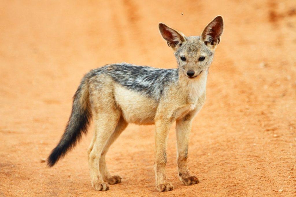cane selvatico tarangire park tanzania