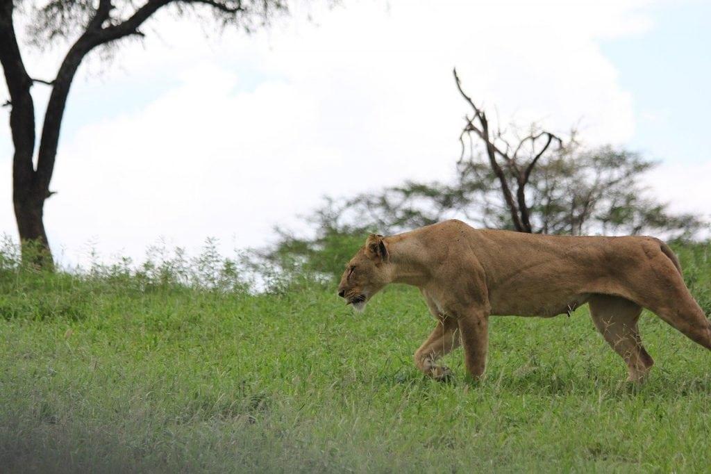 leonessa parco tarangire