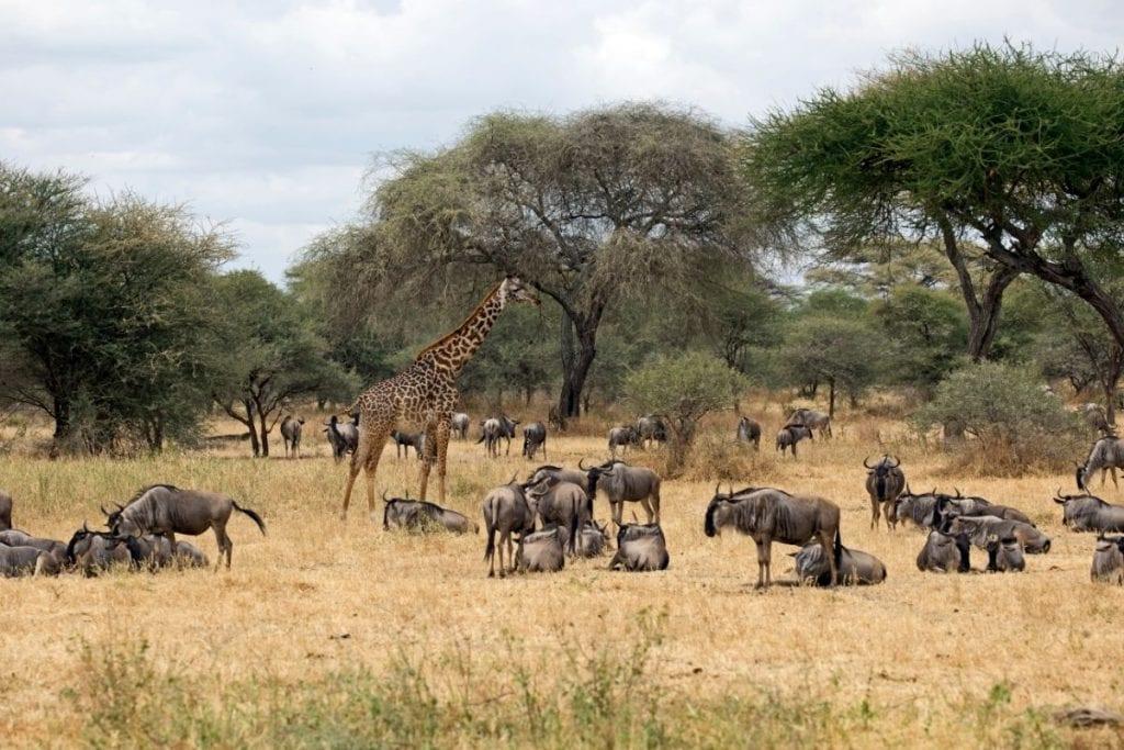 migrazione parco del tarangire