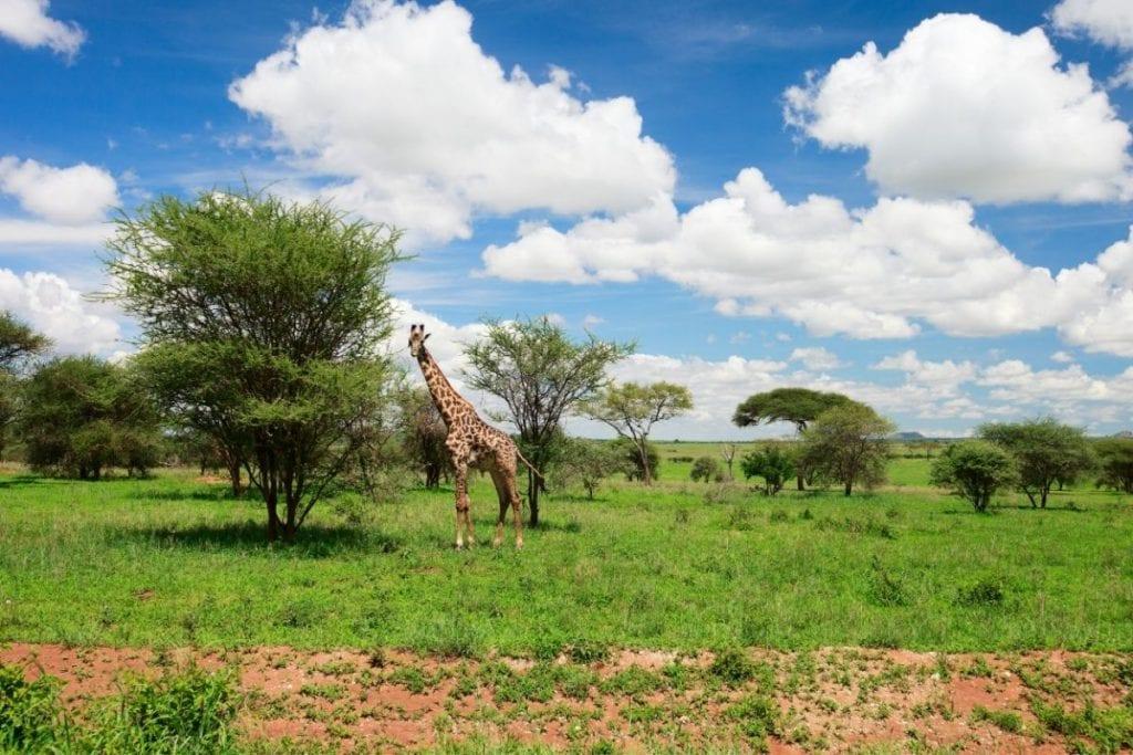 tarangire safari giraffa