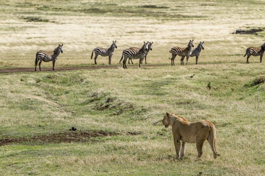 parco nazionale ngorongoro safari