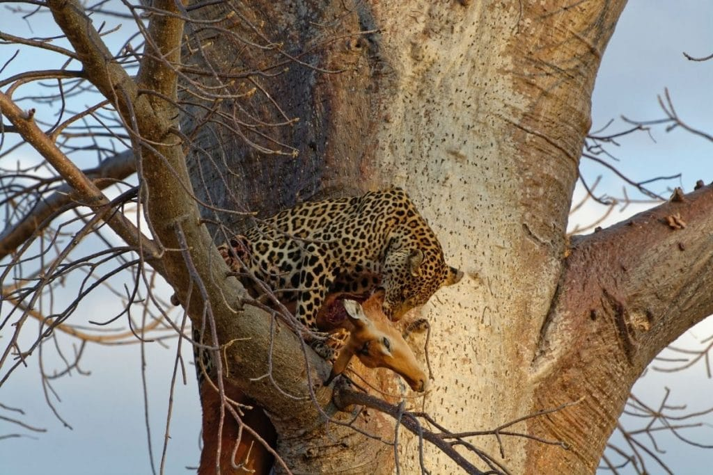 safari ruaha national park leopardo