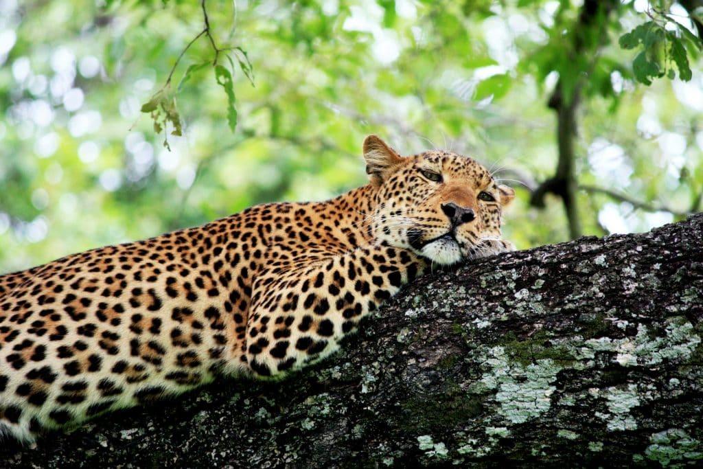 i migliori safari del mondo dove vedere i leopardi south luangwa